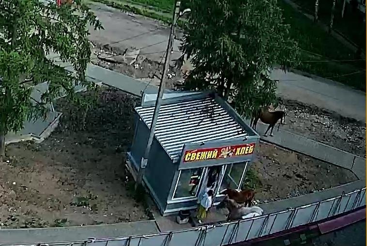 Бесхозные лошади атакуют ларьки и прохожих в Тверской области