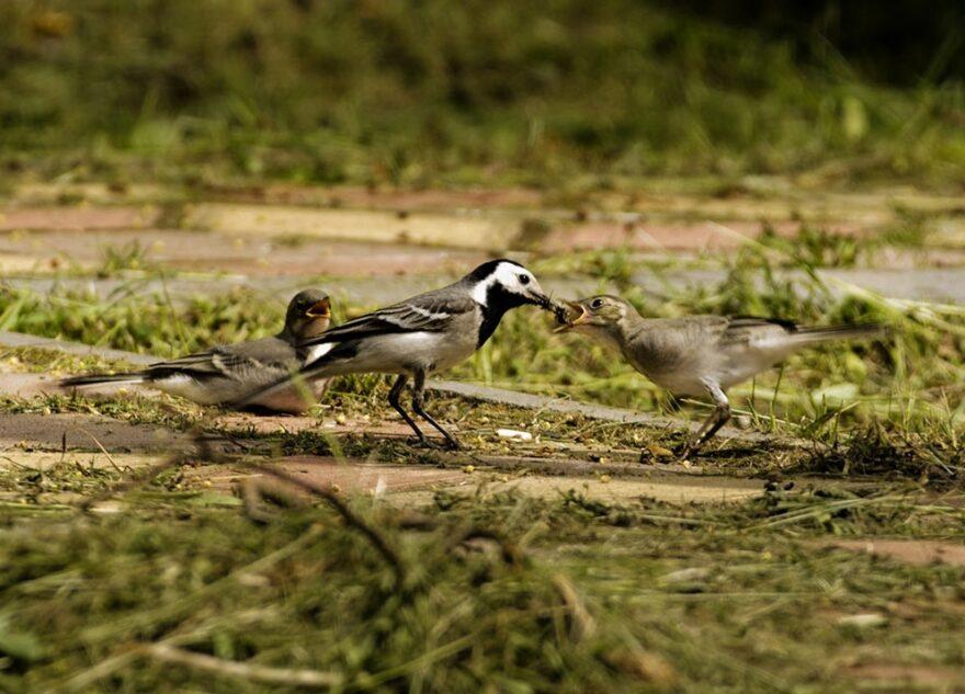 Жителей Тверской области призывают не трогать птенцов