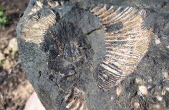 Раковину древнего моллюска времен динозавров нашли в тверском колодце
