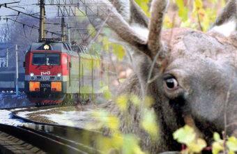Ночью под Тверью поезд насмерть сбил лося