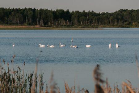 Опубликованы фото лебединого вальса в Тверской области