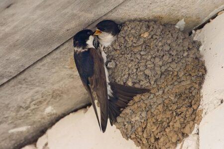 Тверские биологи рассказали, как избавиться от ласточкиного гнезда, не обидев птиц