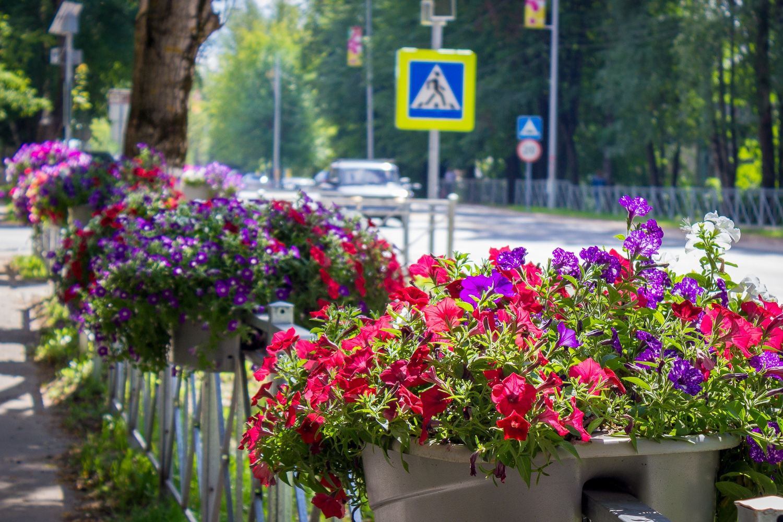 20 тысяч цветов высадят в Лихославле