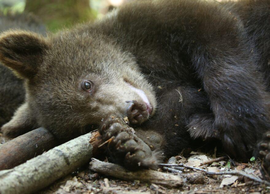 В соцсетях появилась долгожданная сессия медвежат-сирот из Тверской области
