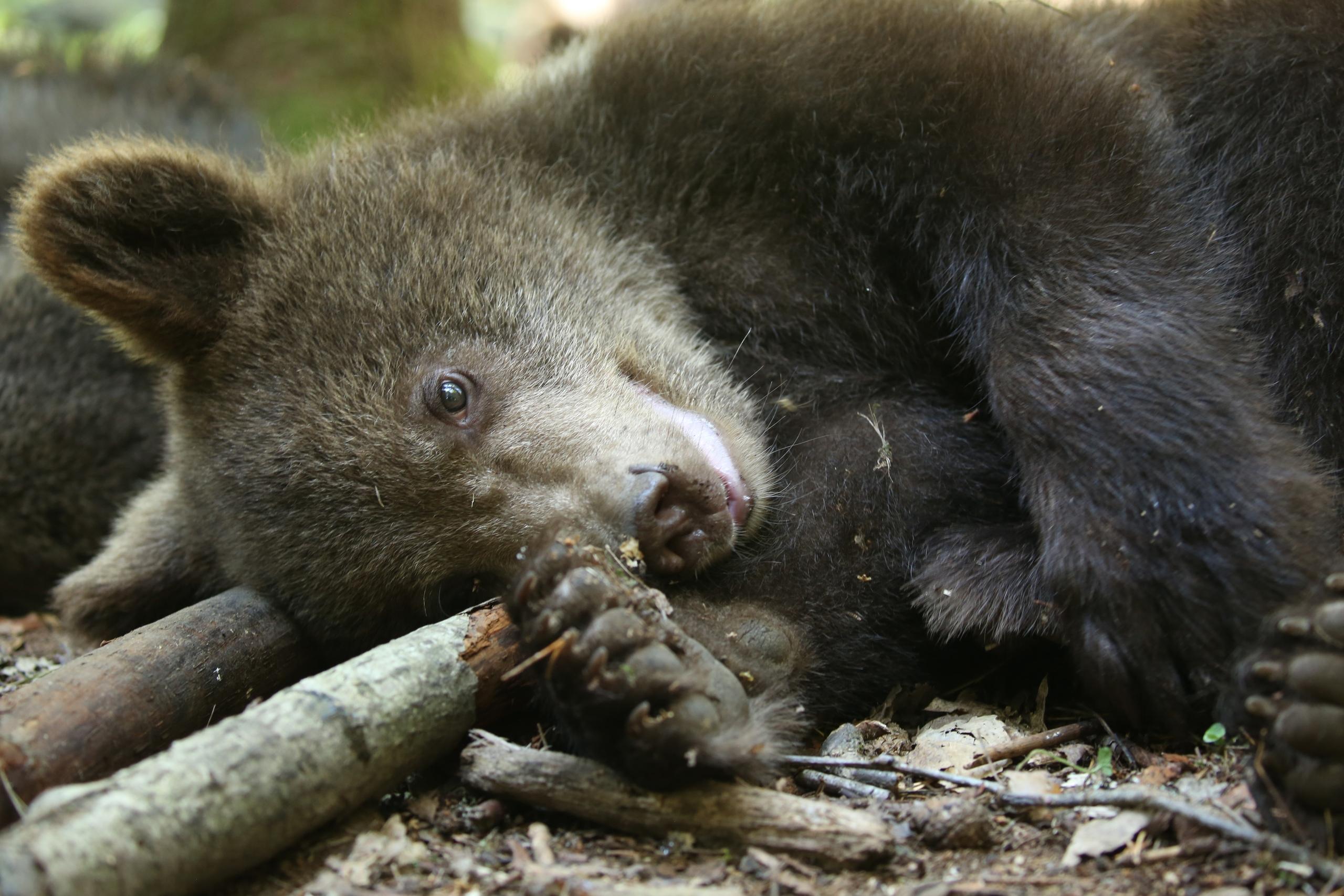 В соцсетях появилась долгожданная фотосессия медвежат-сирот из Тверской области