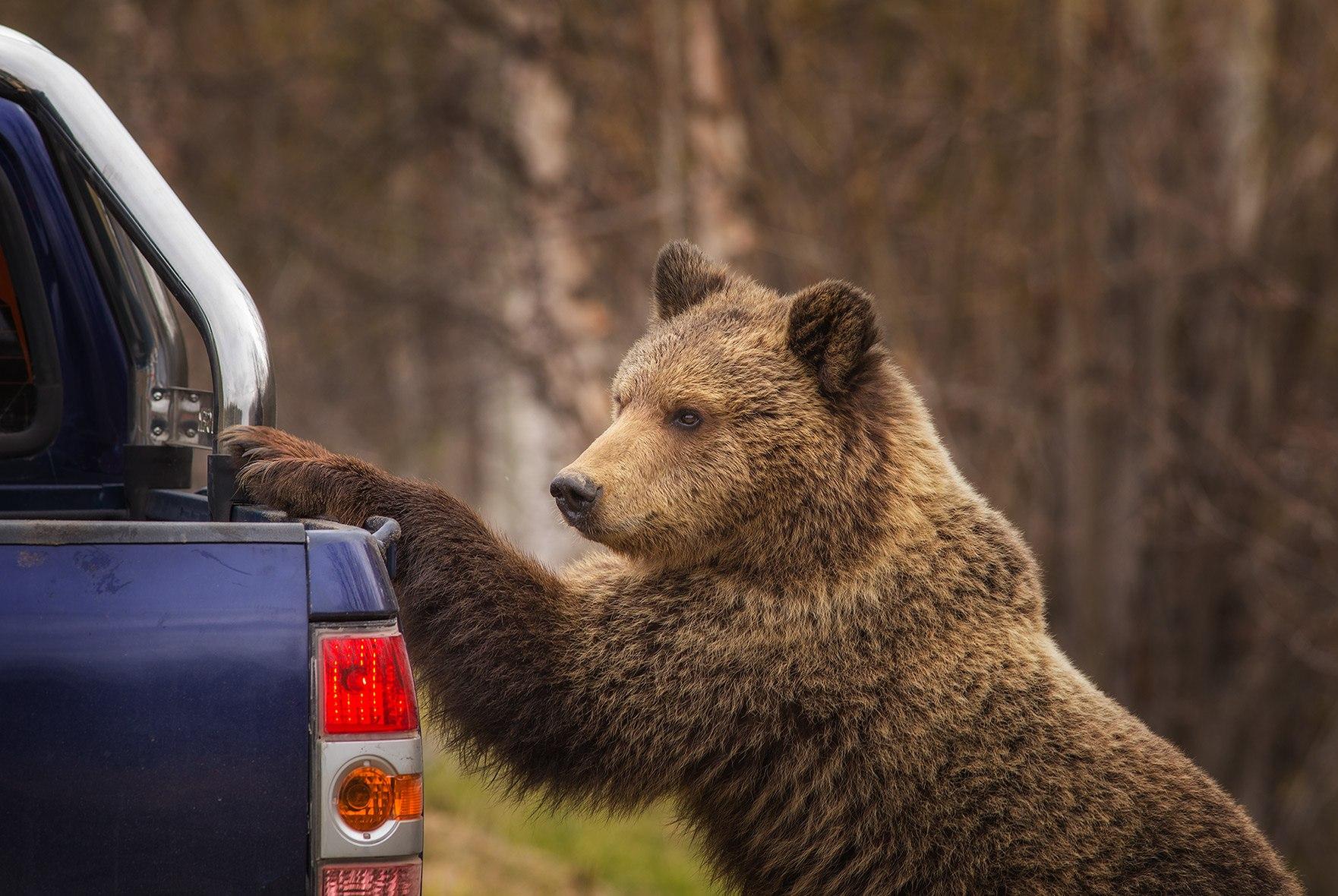 Из-за жары в Тверской области медведи стали выходить к людям