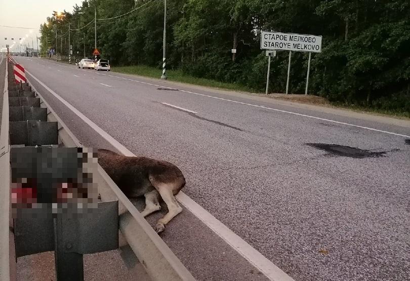 Один из двух лосей, пытавшихся перейти дорогу, погиб в Тверской области