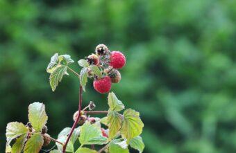 Жителям Тверской области показали, как выглядит малиновка