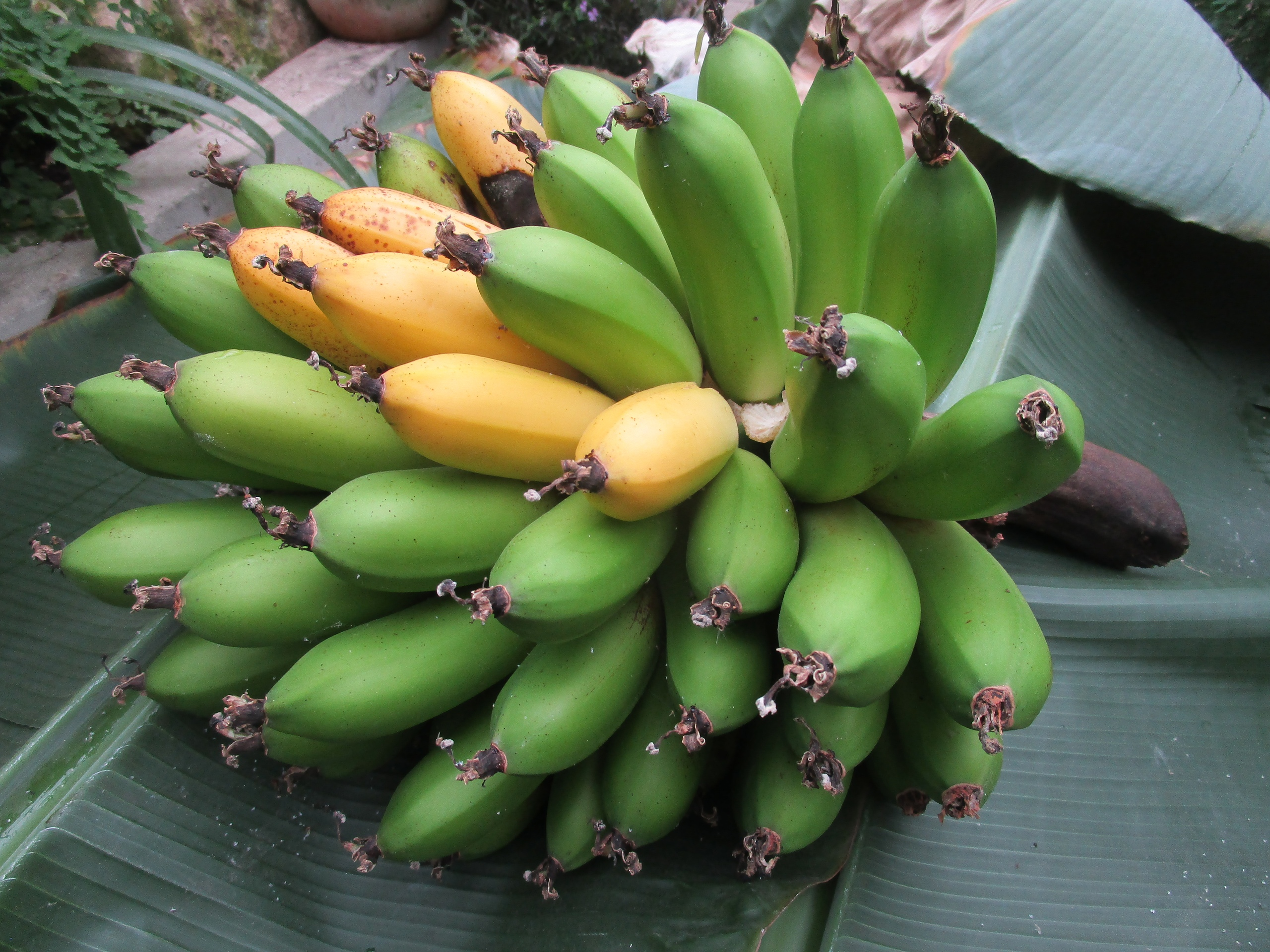 Тропический июль: в Твери зацвело банановое дерево