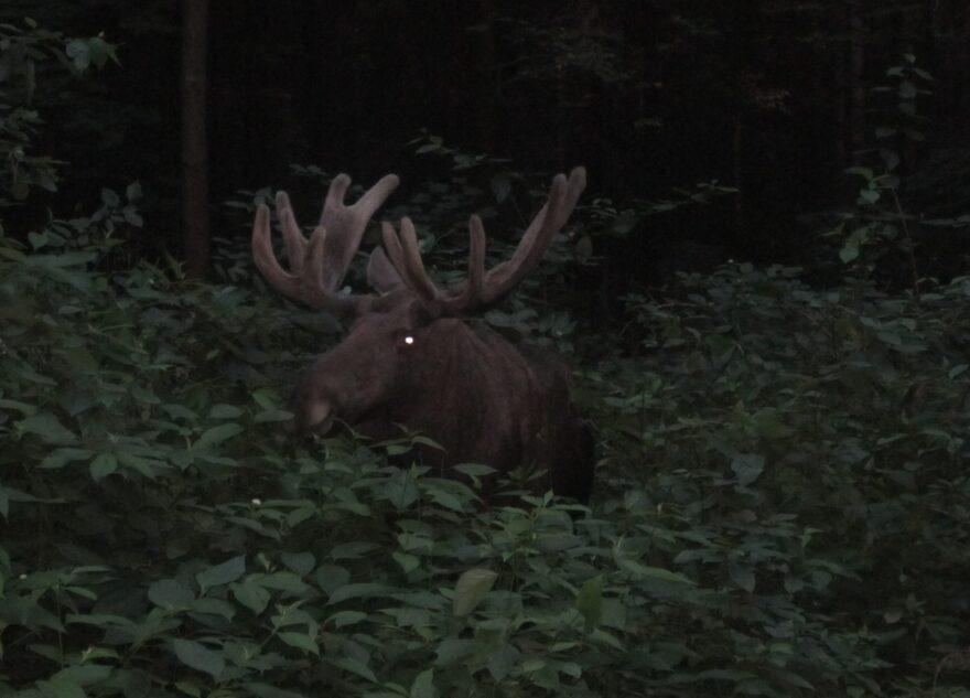 Из-за найденных останков лося в тверском лесу началось следствие