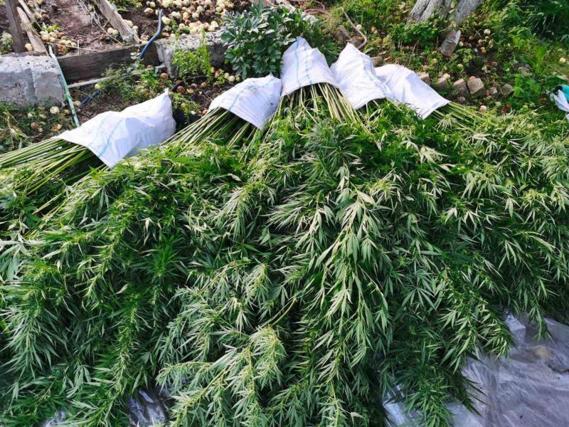 У жителя Тверской области полицейские нашли 3356 кустов конопли