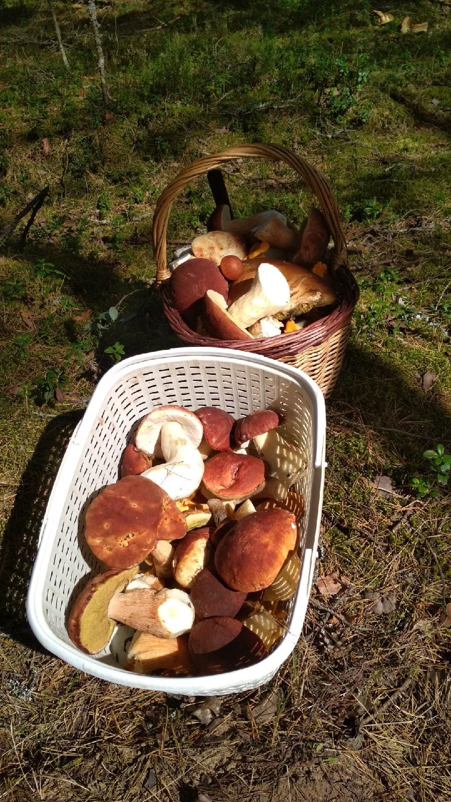 Грибы пошли: жители Тверской области выходят из леса с полными вёдрами