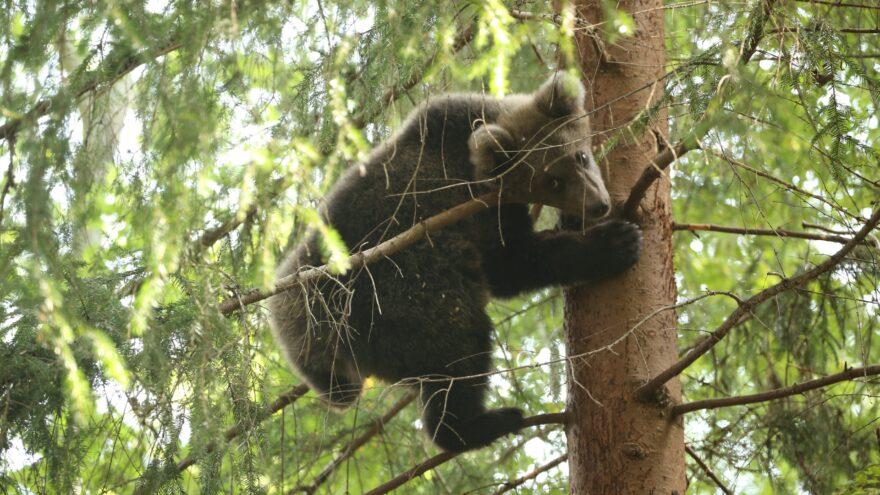 Медвежата-сироты из Тверской области вновь оказались в центре внимания: видео