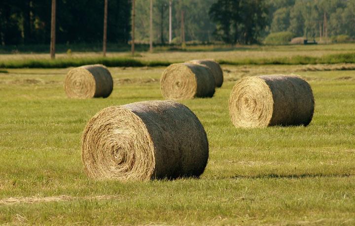 В Оленинском округе заготавливают корма для крупного рогатого скота