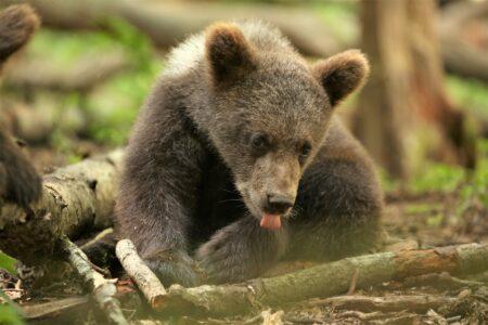 Медвежата-сироты из Тверской области едят кашу вёдрами