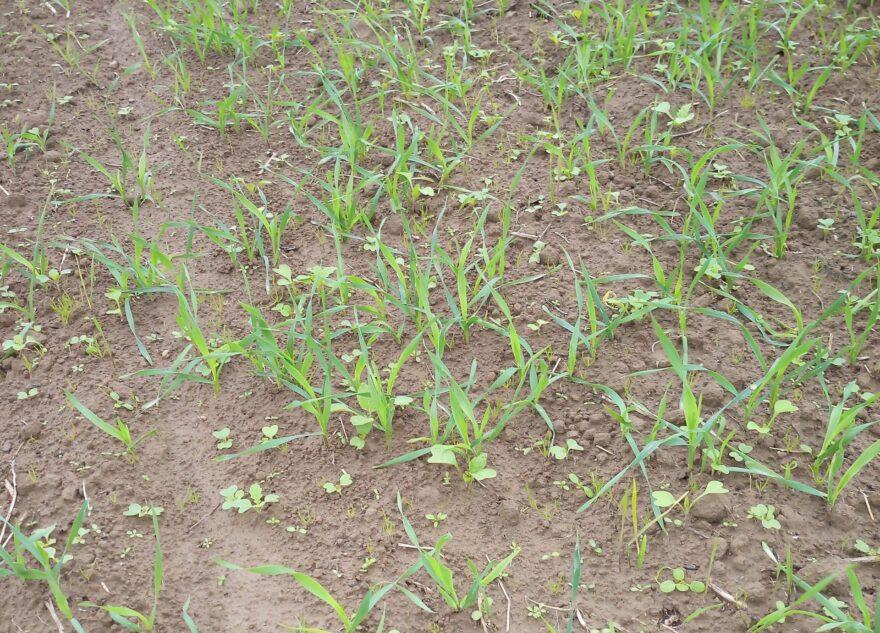 Эксперты проверяют фитосанитарное состояние посевов озимых зерновых культур в Тверской области