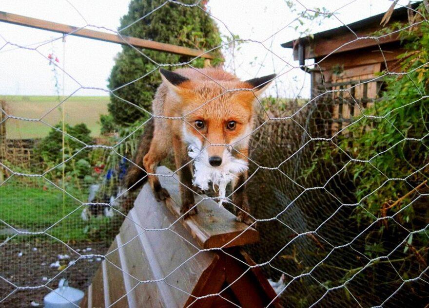 В Тверской области ищут специалистов по уничтожению лис