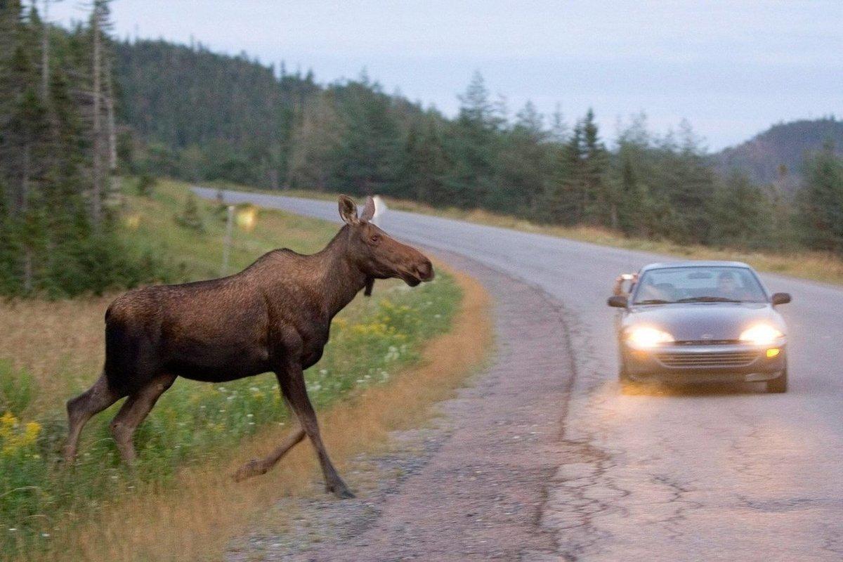 В Тверской области будут судить водителя, сбившего лося