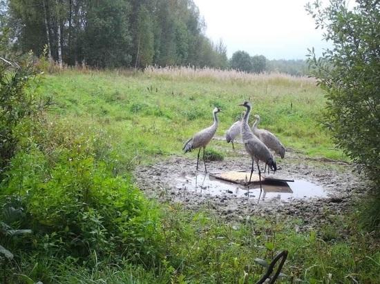 В Тверской области четырех журавлей заметили за трапезой