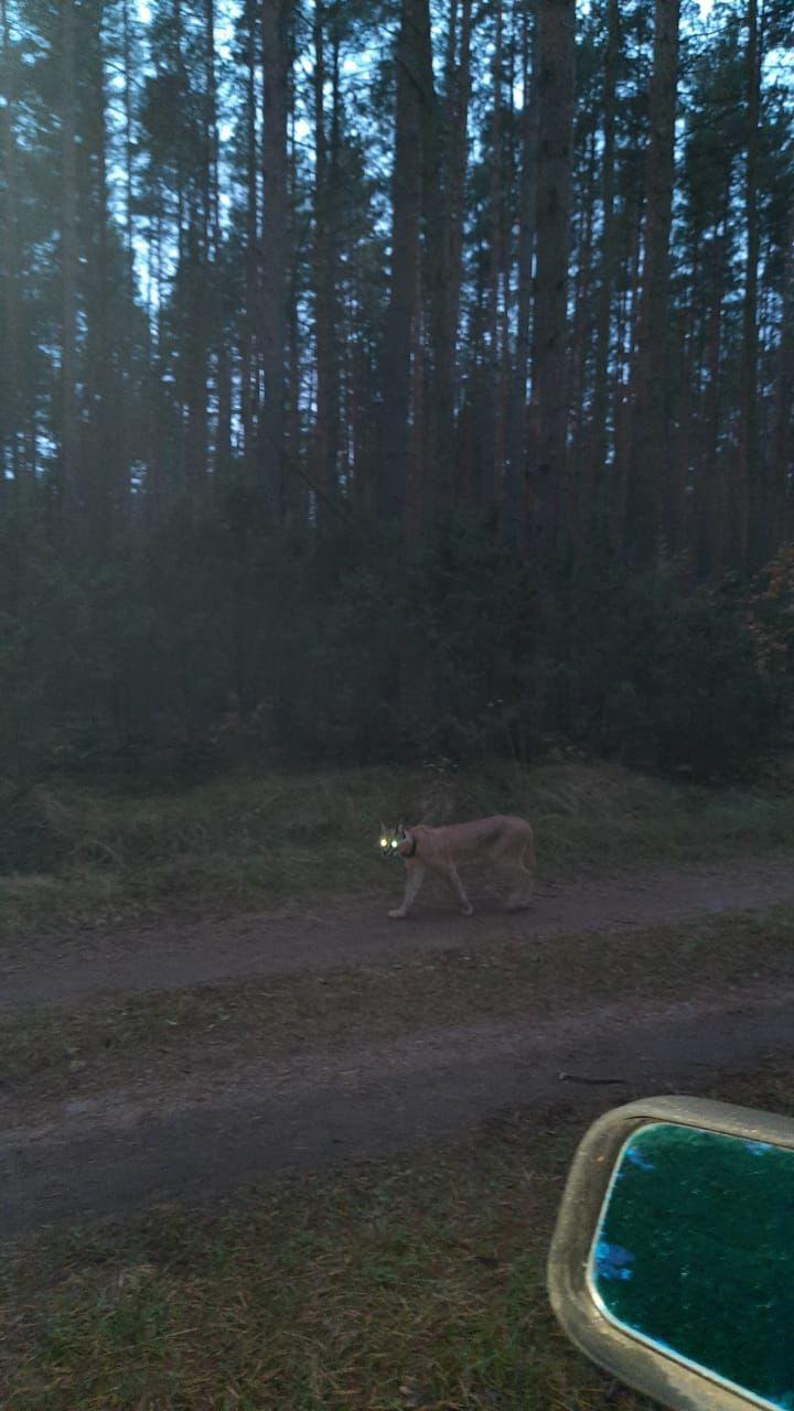 Под Тверью в ночи бродит экзотический зверь с горящими глазами