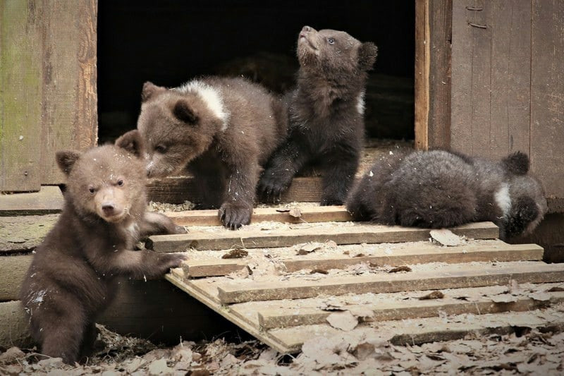 Опубликовано видео, как тверских медвежат-сирот выпустили на волю