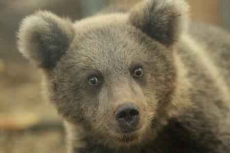 На видео попало любимое лакомство медвежат из Тверской области