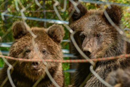 Ещё трое медвежат из Тверской области обрели новый дом