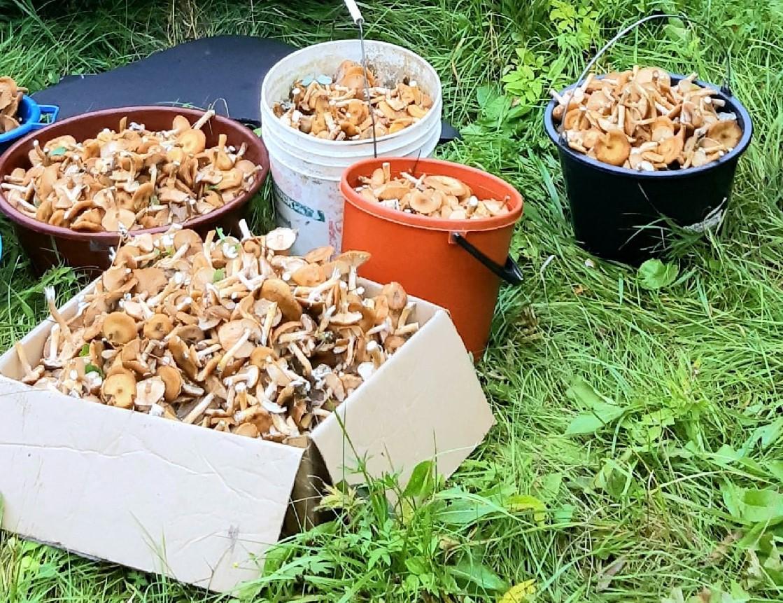 Жители Тверской области собирают грибы вёдрами, коробками и бельевыми корзинами